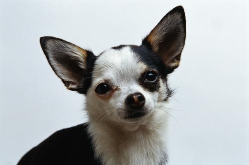 Perro Chihuahua
