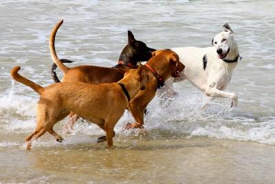 perros jugando en el agua en la playa